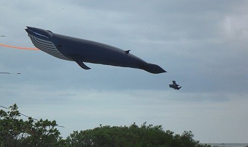 Perhaps one of the biggest large kites most festival-goers have seen - a Blue Whale Inflatable!